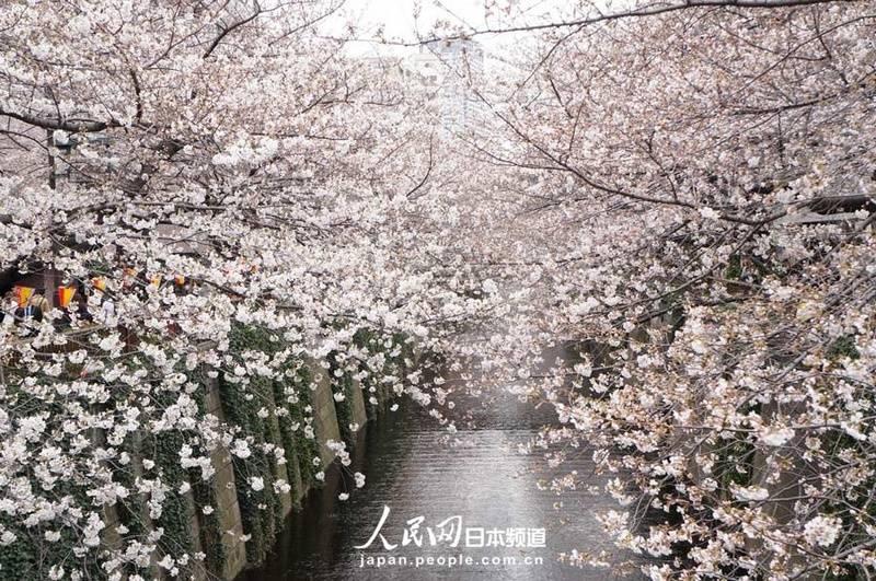 东京樱花盛开迎来最佳观赏季节【8】