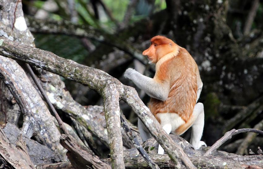 这是在文莱热带雨林拍摄的文莱国宝级动物