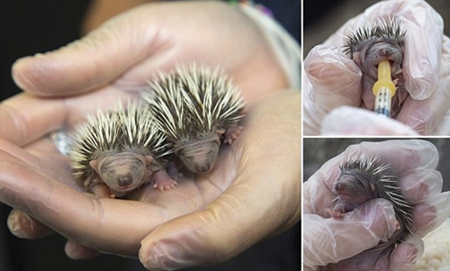 英动物保护组织救助刚出生数天的小刺猬