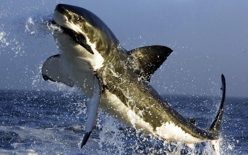 同样是在南非,一只企图逃离鲨口的海豹,已经被咬住,大白鲨牙关紧闭,毫