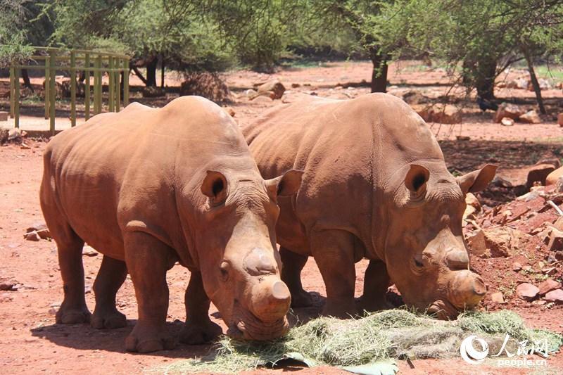 中国驻南非使馆认养南非国家动物园的两只犀牛正在吃午餐.苑基荣摄