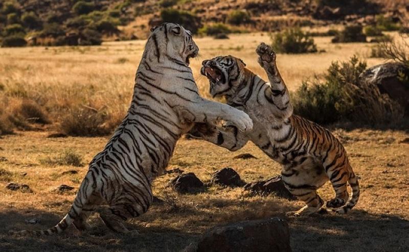人民网12月23日电 南非老虎谷自然保护区内两头母老虎最近因争夺领地大打出手。打斗发生前,名叫阴影的黄虎企图扩大自己的狩猎范围,并闯入了白虎泰波的领地。最终,身材硕大的白虎战胜了体型相对较小的黄虎。 拍下这一场面的乌克兰摄影师Alex Kirichko介绍,在一番激烈的搏斗后,黄虎倒地翻滚,伏地认输。白虎围着黄虎转了几个圈,俨然一副胜利者的姿态。当地人表示,这种母老虎之间打斗的场面非常罕见。 南非不产老虎,这些是送去野化的外国虎。(高轶军)
