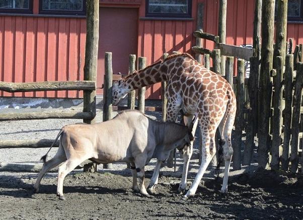 组图:挪威动物园长颈鹿被羚羊顶死