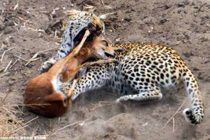 摄影师拍摄猎豹捕食石羚惊心画面
