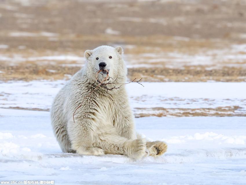 """高清:北极熊双手合十""""祈祷""""萌翻众人"""