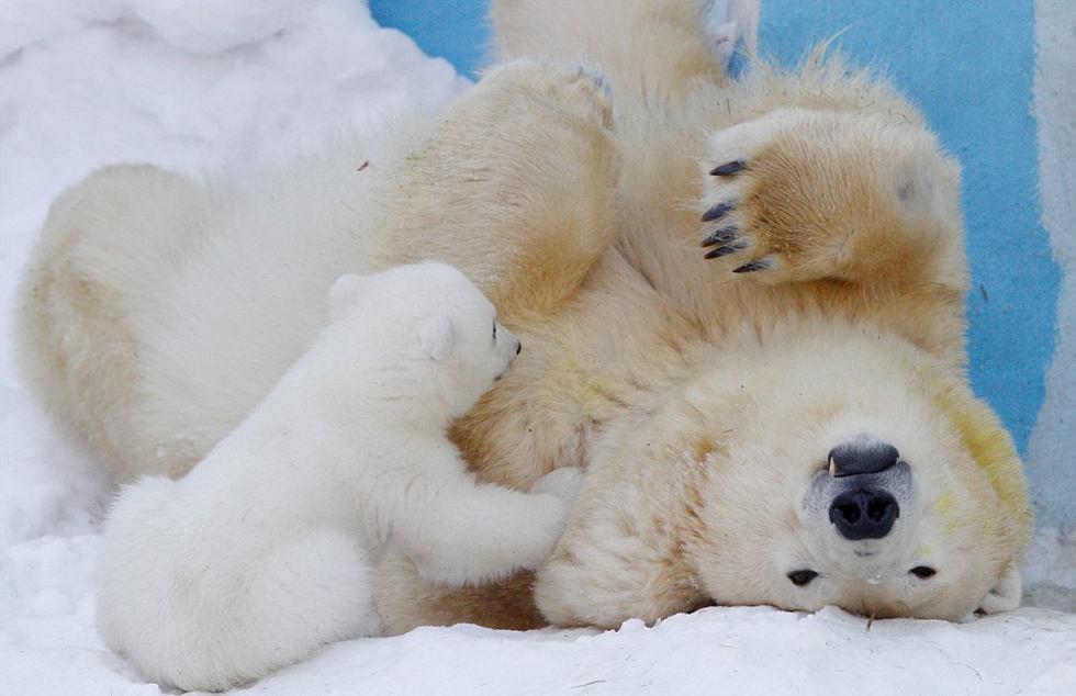 动物园里,北极熊妈妈格尔达与刚出生的宝宝在雪地中