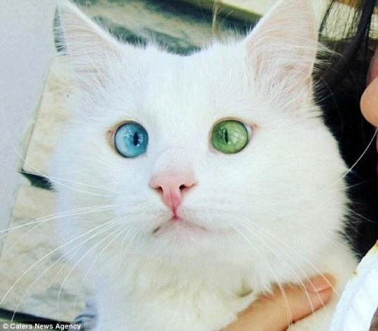 Cat Wih Diffrent Cilored Eyes