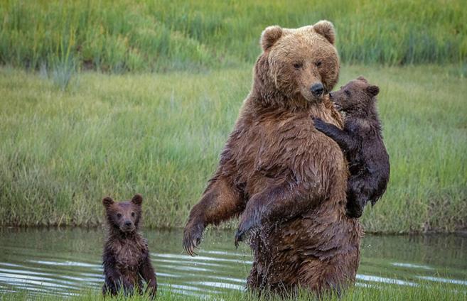 高清:熊妈妈背怕水熊宝宝过河