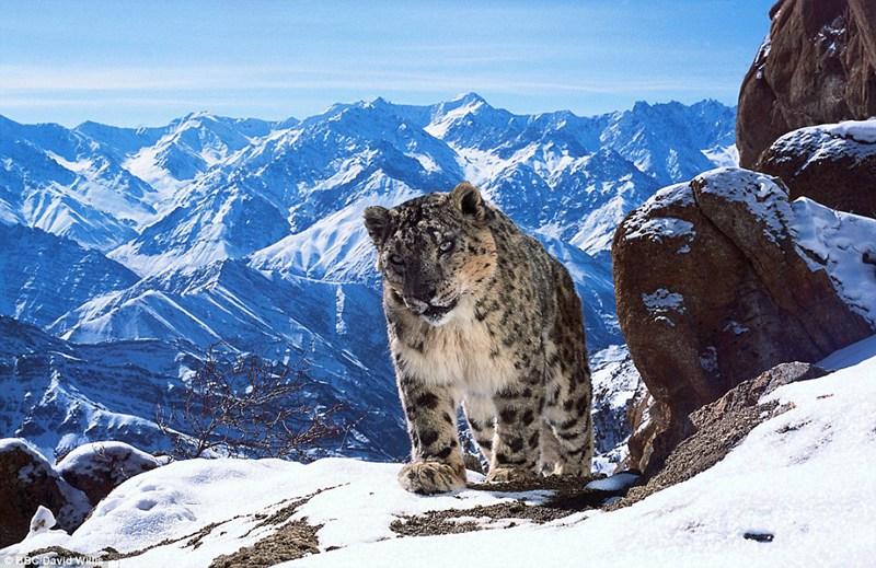 在印度赫密斯国家公园拍摄到的雪豹。比起其它猫科类动物,雪豹更能适应高海拔环境。 这种罕见的珍稀动物很难捕捉,因为远程感应技术的发展,才使得人们能够一探雪豹神秘的生活习性。 距《行星地球》播出已经十年,这档在英国风靡一时的电视节目将于十月末重新回归人们的视野。 节目制作人大卫腓特烈阿滕伯勒爵士(Sir David Attenborough)被誉为是国宝级的人物。他所制作的新节目将盘点世界范围内,那些漂亮得令人感到不可思议的动物。 《行星地球》第一期节目是当时世界上最昂贵的纪录片,制作费用高达两千万英镑(
