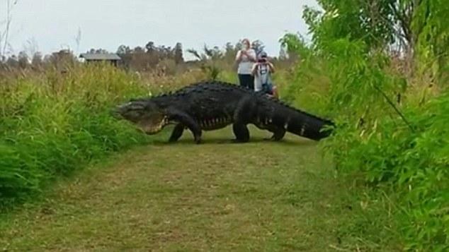 美国佛罗里达现巨鳄出没 游客淡定拍照后(图)