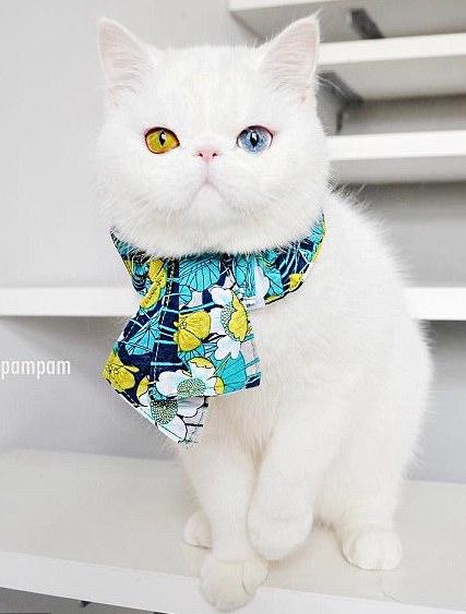 """呆萌的小白猫成""""网红""""(组图)【4】"""