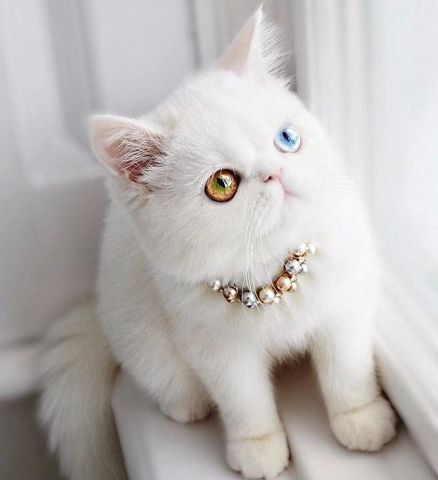 """呆萌的小白猫成""""网红""""(组图)【3】"""