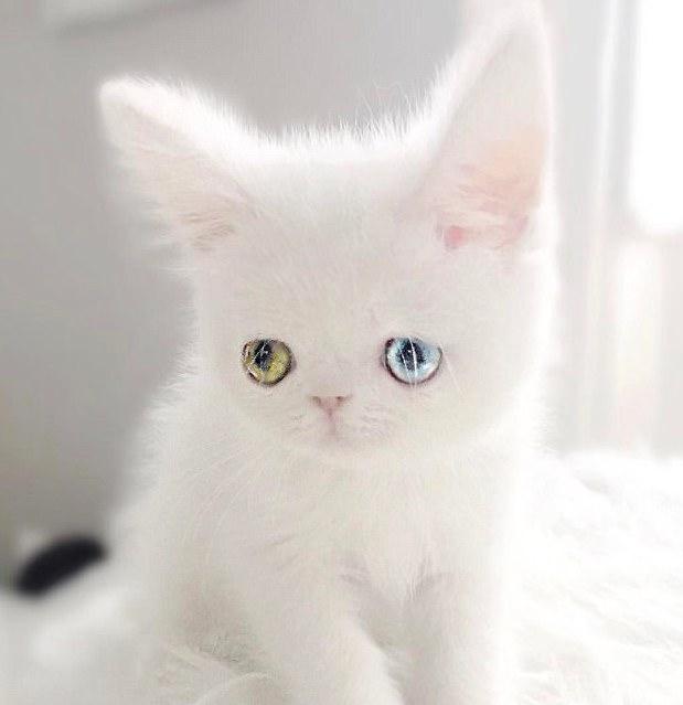 """呆萌的小白猫成""""网红""""(组图)"""