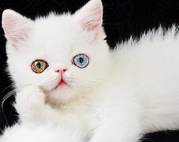 """呆萌的小白猫成""""网红""""(组图)【2】"""