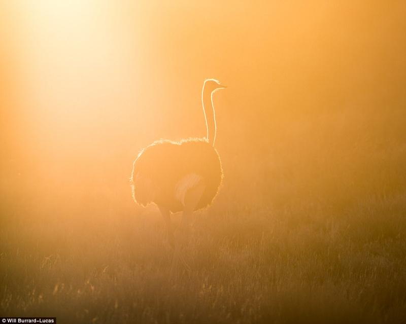 从朝阳到夕阳,动物剪影展现金色非洲