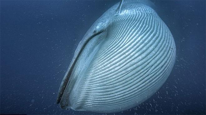 """新研究揭蓝鲸为何体型庞大:气候变化导致""""跳跃进化"""""""