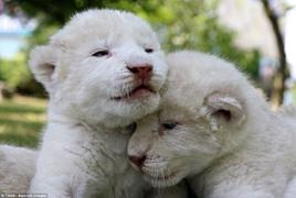 克里米亚野生动物园稀有小白狮镜头前卖萌