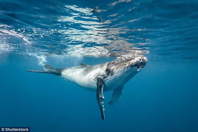 科学新发现:蓝鲸因为海洋噪音自主降低发声频率