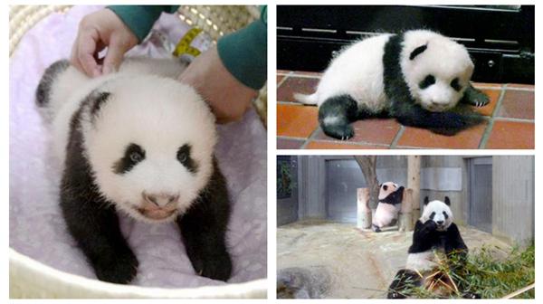 旅日大熊猫 香香 展出庆祝会在东京举行图片 138054 600x336