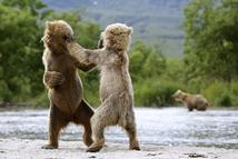 两只熊之间的拳击对决