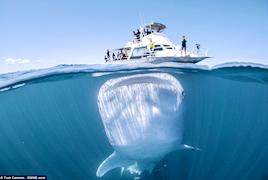 小船大鱼 澳大利亚小船下的巨大鲸鲨