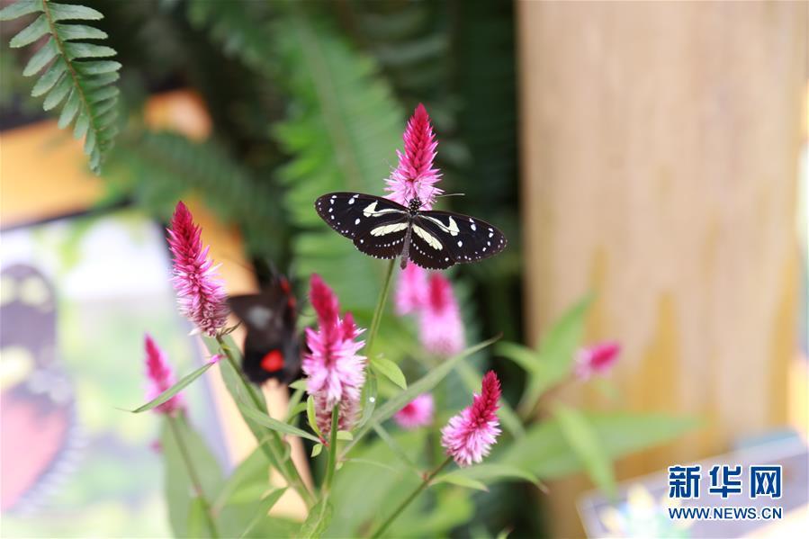 这是3月11日在厄瓜多尔明多森林保护区拍摄的蝴蝶。