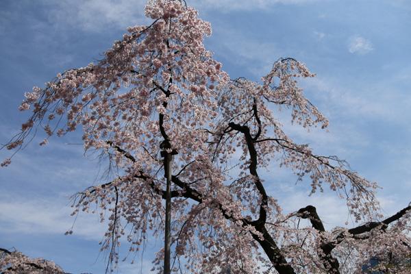 晴天日子较多,日本部分地区本周末就将迎来樱花季节