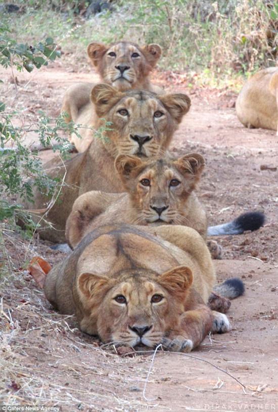 """来拍张""""狮家福""""超有镜头感的狮子一家"""