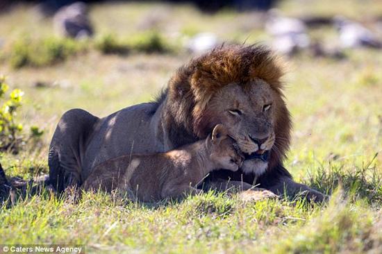 肯尼亚:狮群新领主与前狮王的幼崽亲密玩耍