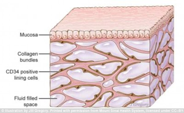 美国科学家发现人体新器官可帮助解释癌症扩散