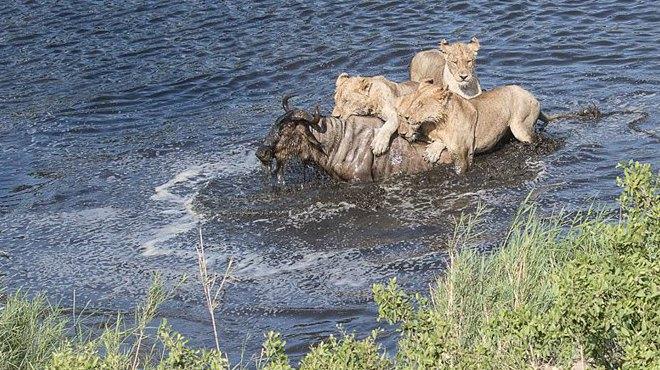 南非大草原:群狮水中捕猎离群野兽