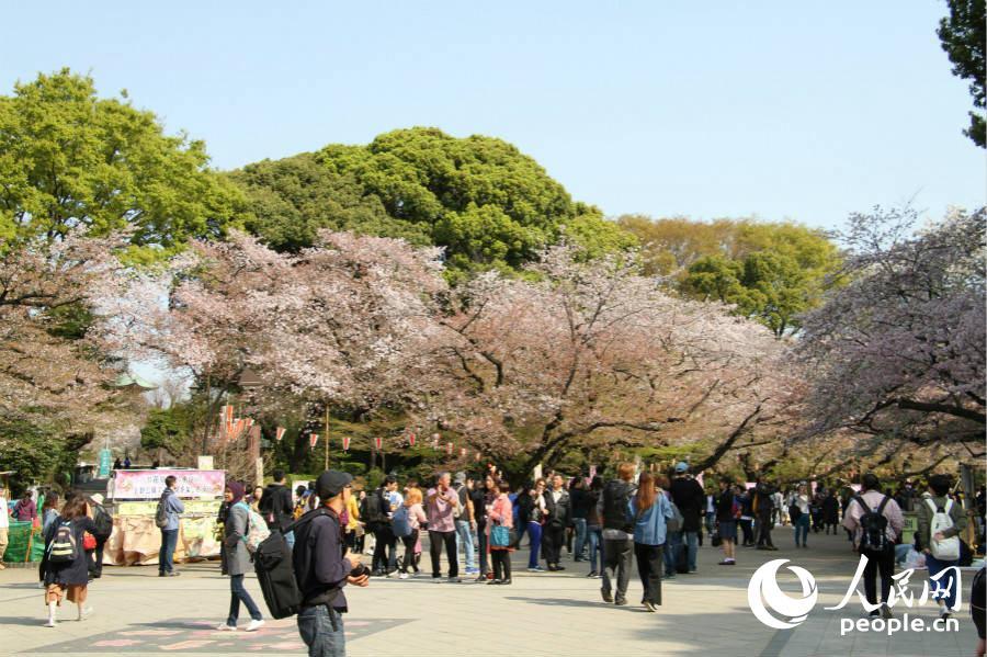 上野公园道路两旁的樱花盛开,漫步其中别有风味