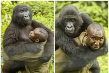 爱的抱抱!大猩猩与饲养员亲密无间