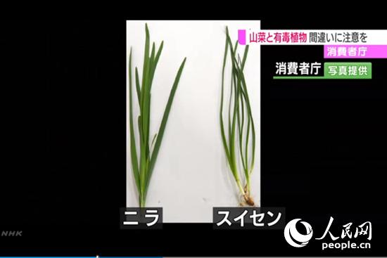 NHK电视台截图(左为韭菜、右为水仙)