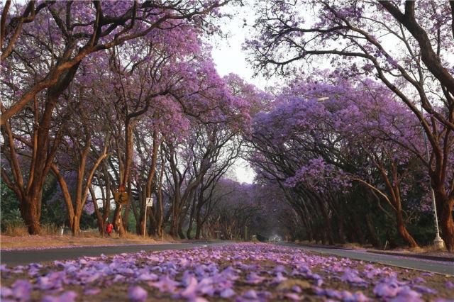 2016年10月2日,在津巴布韦首都哈拉雷,蓝花楹盛开。新华社发 陈雅琴摄