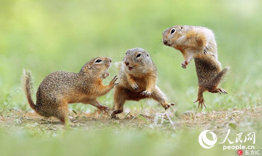 奥地利俩松鼠上演拳击赛 吃瓜群众激动围观当 裁判