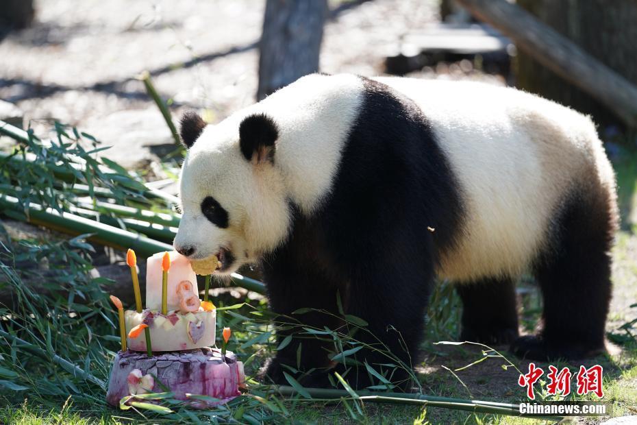 """当地时间7月15日上午,来自中国的雄性大熊猫""""娇庆""""在其居住的德国柏林动物园度过八岁生日。彭大伟 摄"""