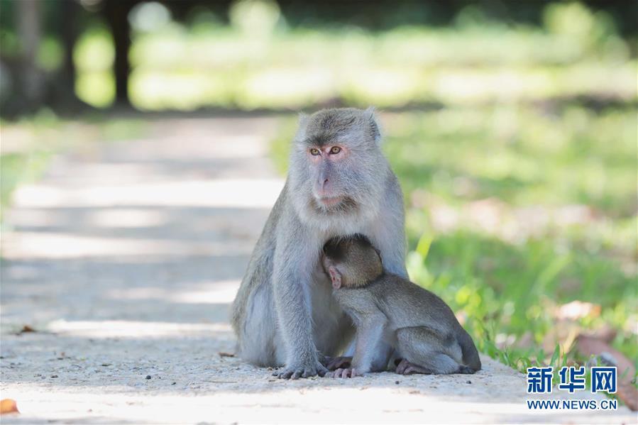 这是7月19日在马来西亚沙捞越州�Q哥国家公园拍摄的猕猴。