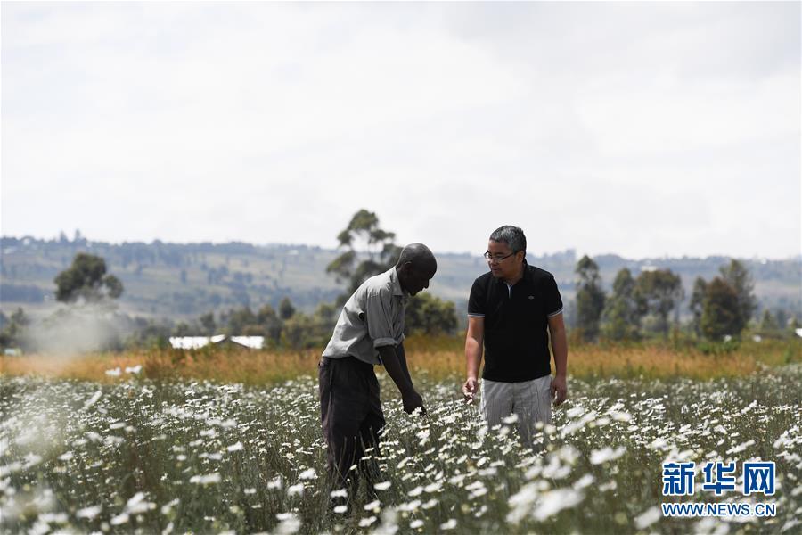 中国技术让肯尼亚除虫菊种植者受益颇多
