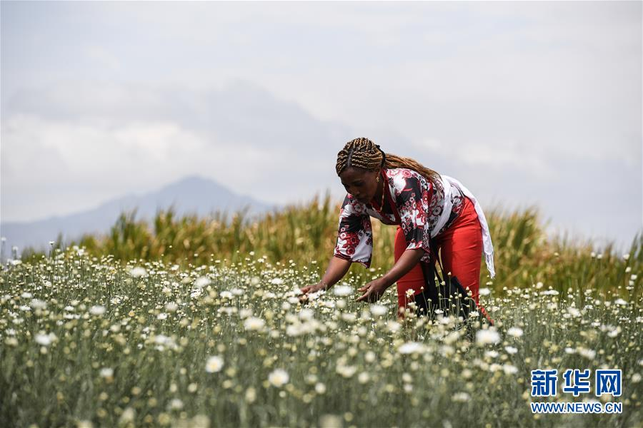 中国技术让肯尼亚除虫菊种植者受益颇多【查看原图】