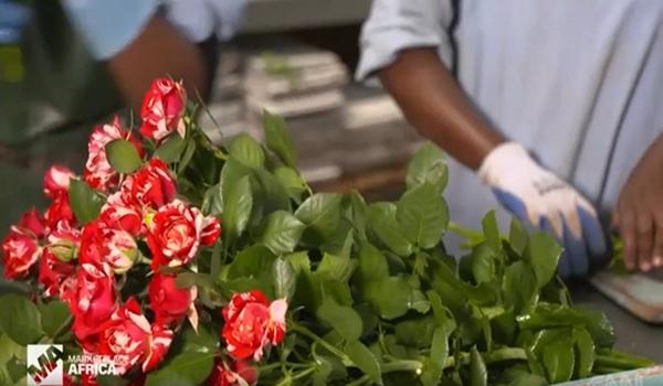 一年获利8亿美元 中国鲜花进口需求惠及肯尼亚