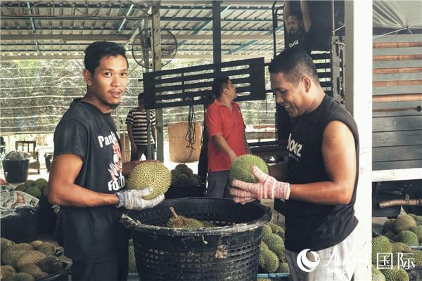 馬來西亞批發商員工正在挑選貓山王榴蓮。 人民網記者 林芮攝