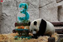旅俄大熊猫吃冰镇竹子蛋糕庆生