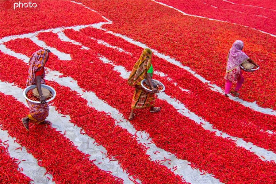 图为孟加拉国拉杰沙希专区博格拉县的一家辣椒农场,当地农民们将采摘下来的成熟辣椒整齐码放在晾晒场。ICphoto版权作品,请勿转载。