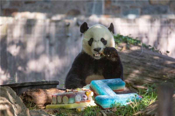 """旅美大熊猫""""贝贝""""即将回国 饲养员难说再"""
