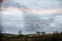 上万只椋鸟在空中不断变换队形