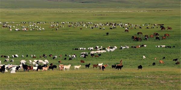 蒙古国打算9月向中方分批移交30000只捐赠羊