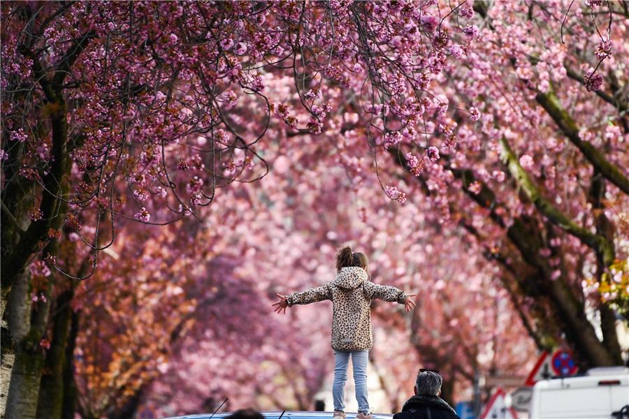 德国波恩樱花大道吸引民众打卡拍照