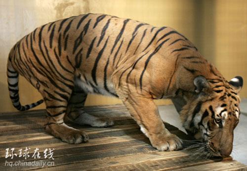 濒危的十大物种之一,目前世界上仅存的华南虎还没有