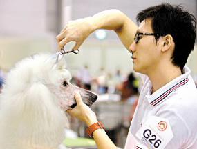 搞笑 组图/专业的宠物美容师在给一只巨型贵宾犬做新造型